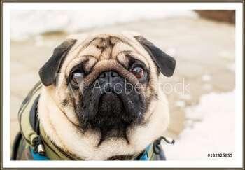 Dog breed pug. Portrait of a pet Indrammet plakat