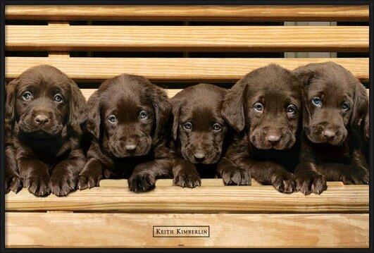 Keith Kimberlin - chocolate labradors Plakat