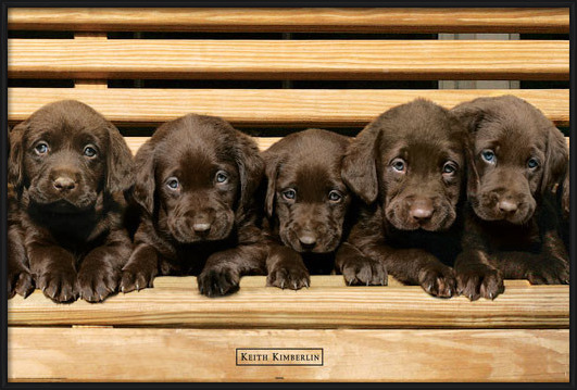 Keith Kimberlin - chocolate labradors Plakat